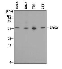 Detection of ERK2 with GT15111.  Immunoblot  of lysates from human HeLa and U937 cells and mouse TS1 and NIH/3T3 cells using anti-ERK2 antibody.
