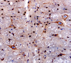Sortilin staining of immersion fixed paraffin-embedded sections of mouse brain using Human at 1.7 µg/mL overnight at 4 °C. Tissue was stained using the Anti-Goat HRP-DAB  (brown) and counterstained with hematoxylin (blue).