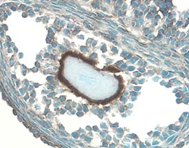 IGFBP-5 staining of cryostat tissue sections of mouse ovary (follicle with oocyte). Tissues were stained using anti-goat HRP-DAB Cell and Tissue Staining Kit (brown) and counterstained with hematoxylin (blue).