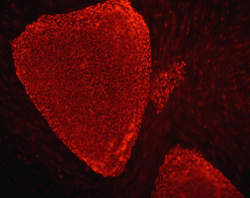 Oct-3/4 Staining in human embryonic stem cells. Cells were stained using Rhodamine Red-conjugated donkey anti-goat secondary antibody.