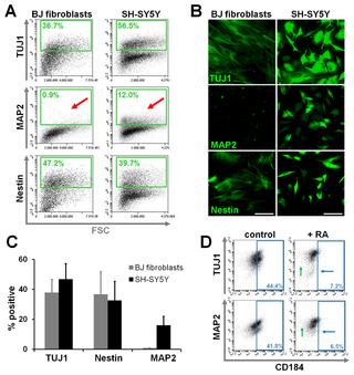 Accurate detection of intracellular antigens with optimized fixation-permeabilization conditions preserving surface antigens. Flow cytometric detection of TUJ1, MAP2 and nestin antigens in BJ fibroblasts and the neural SH-SY5Y cell line