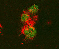 IL-6 staining of mouse T cells. Cells were stained with goat anti-rat IL-6 (red) and nuclei counterstained with Fluoro Nissl Green.