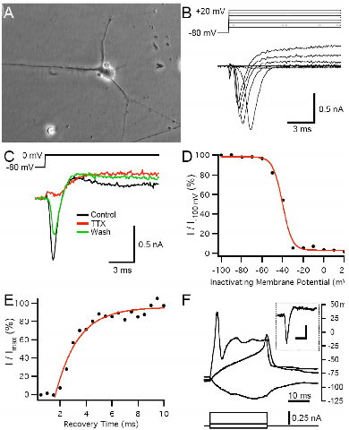hN2 cells can produce inward currents that generate action potentials.