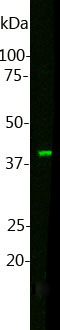 Western blot analysis of MO22147. Blot of HL60 cell lysate was probed with MO22147 at dilution 1:1,000. The MO22147 monoclonal binds Muscleblind-like protein 1 at ~40kDa, as expected.