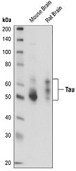 Western blot analysis of extracts from mouse and rat brain.