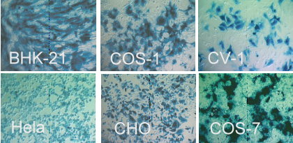 Examples of p-Fect transfection in different cell types.