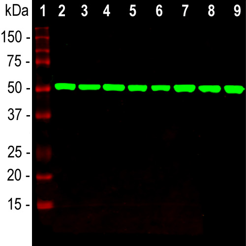 Beta-Tubulin Western Blot
