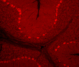 AMIGO3 staining of  frozen mouse cerebellum sections. (dilutions: 25 µg/ml ).