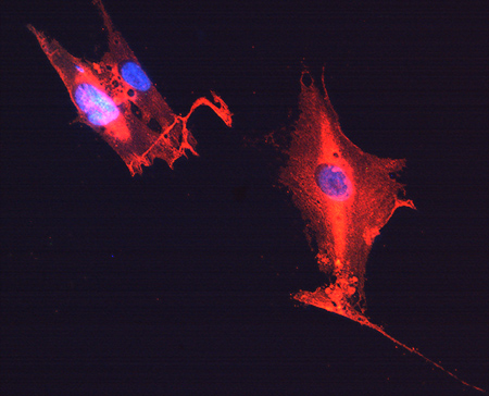 GFAP (cat no. RA22101, red fluorescence) with DAPI (blue) counterstain