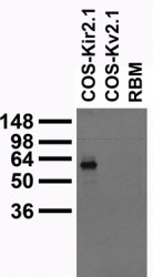Kir2.1 K+ Channel western blots of Rat Brain Membranes (RBM) and COS cells transiently transfected with HA-tagged Kir2.1 or untagged Kv2.1 plasmids.