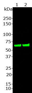 Western blot analysis of CH22117.  Blot of SHSY-5Y cell lysate (lane 1) 1) and HeLa cell lysate (lane 2) was probed with HSP60 (CH22117) at 1: 20,000.  This antibody recognizes cleanly and strongly the Hsp60 protein at 60 kDa.